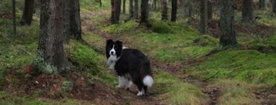 19.10.2011 Toton viimeinen iltakävely ikimetsässä.