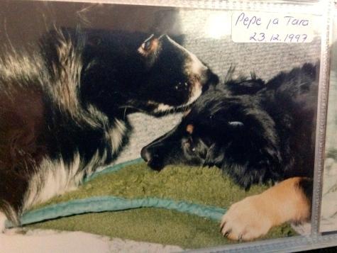 Sain uuden ystävän, Tara-hovawart tytön 23.12.1997