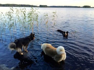 Leikkivät koirat rannalla