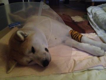 Kisu pääsi lopulta kotiin kahden ison leikkauksen jälkeen.